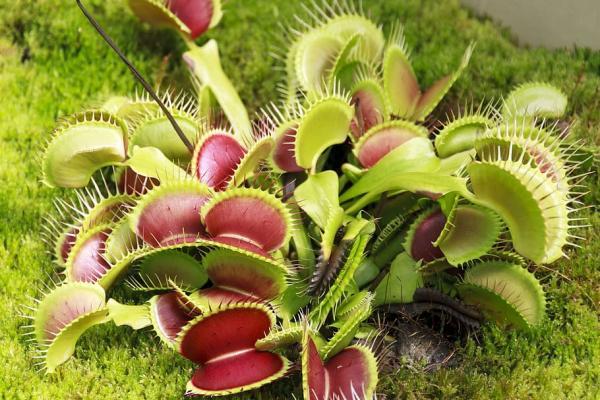 16 small plants - Venus flytrap or Dionaea muscipula