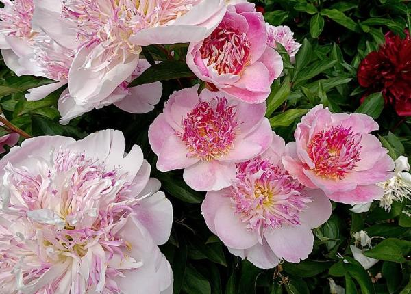 Good luck plants according to Feng Shui - Paeonia officinalis or peony