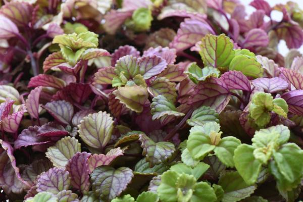 Good luck plants according to Feng Shui - Plectranthus or money plant