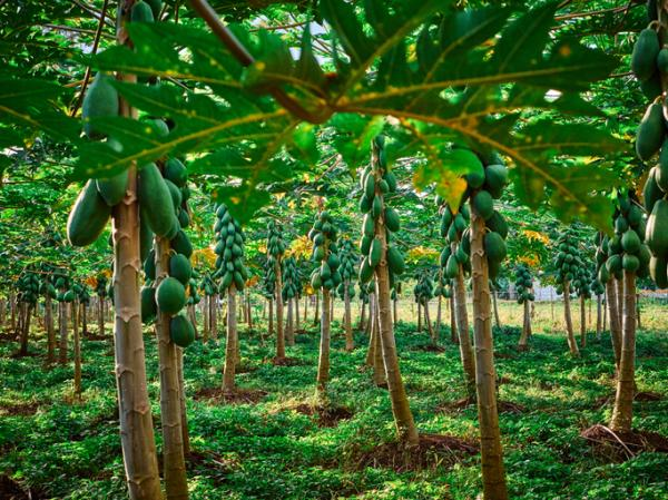 How to plant papaya - How to plant papaya in soil or soil