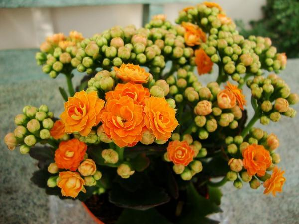 Succulents with flowers: names, characteristics and photos - Kalanchoe
