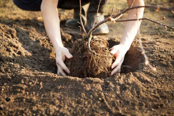 How to plant a cherry tree - How to plant a cherry tree from a branch