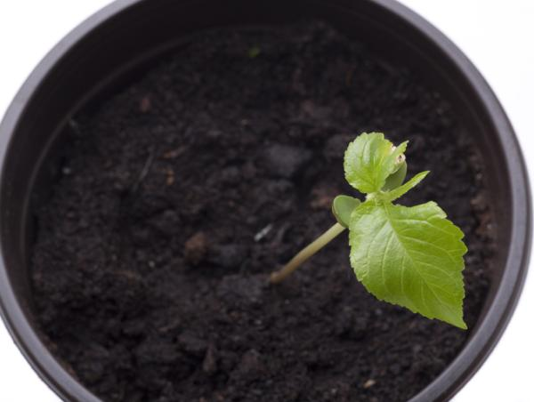 How to plant a cherry tree - How to plant a potted cherry tree