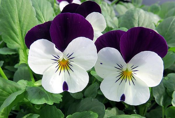 Pansy flower: cares - Pansy flower: cares
