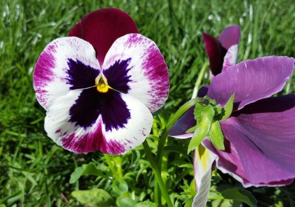 Pansy flower: care - Pruning of pansy