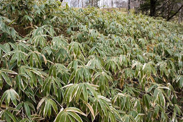 Types of bamboo - Bamboo Sasa