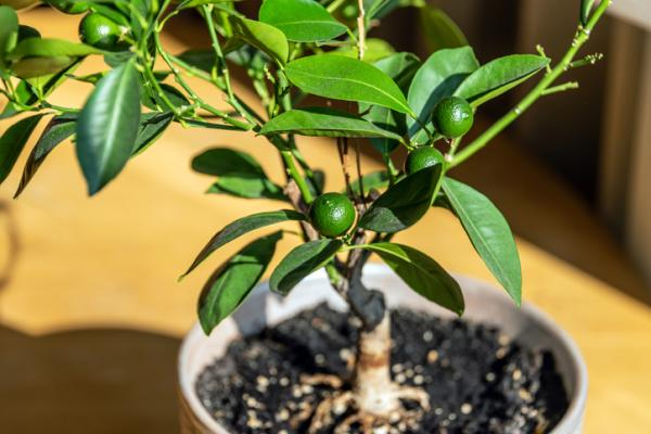 Potted fruit trees: how to grow them - Potted fruit trees: can they be kept indoors?