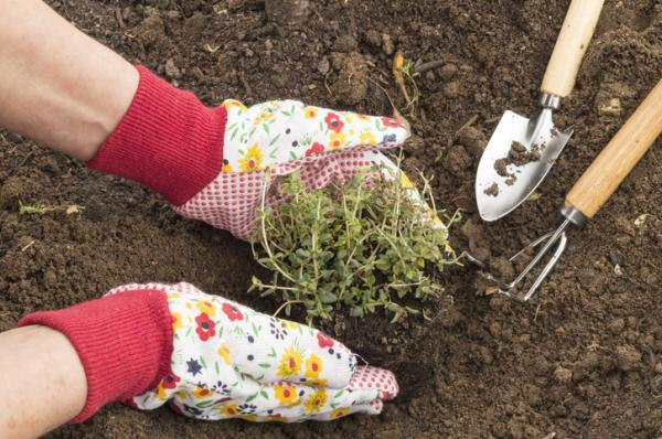 How To Plant Thyme - How To Plant Thyme In Soil