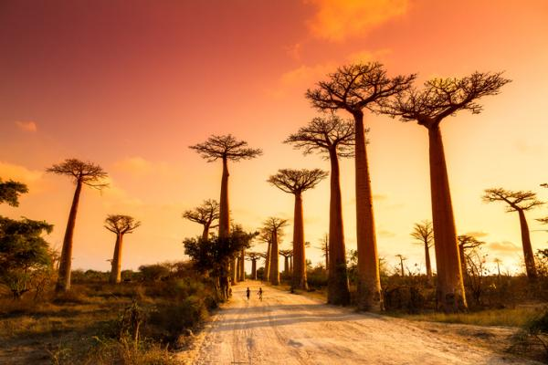 Baobabs: what are they and characteristics - What are baobabs and species