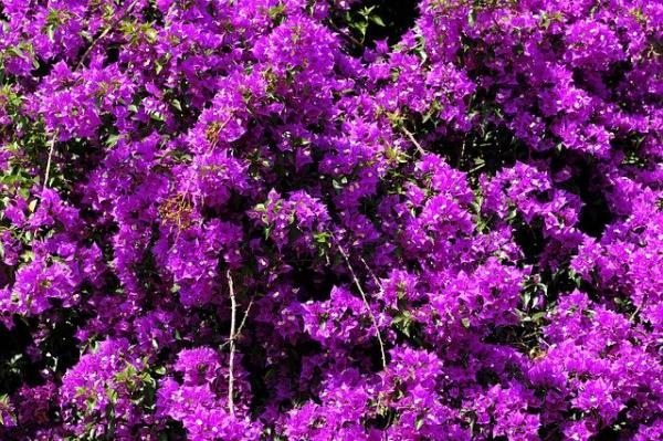 10 purple flowers - Bougainvillea