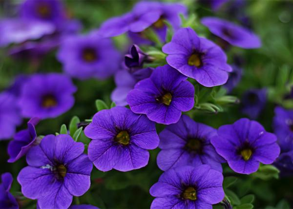 10 purple flowers - Petunia, one of the most famous purple flowers