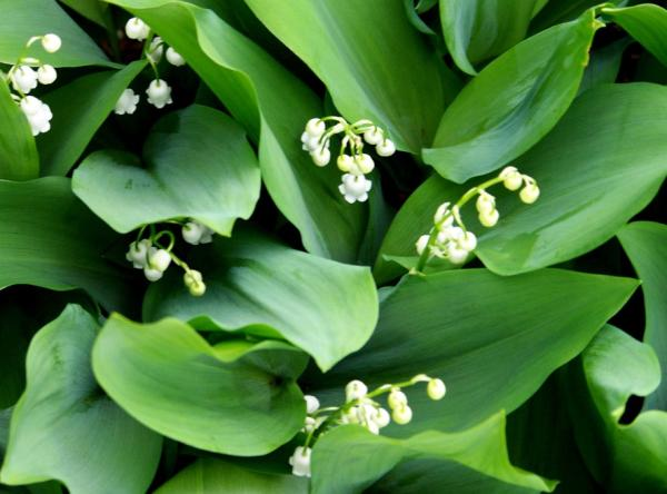 Lily of the Valley Care - Lily of the Valley Watering