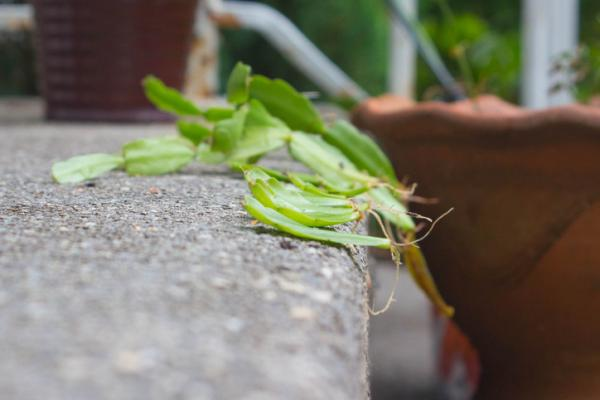 How To Reproduce Christmas Cactus - When To Make Christmas Cactus Cuttings