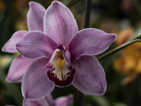 Cymbidium Orchid: care - Cymbidium Orchid: characteristics