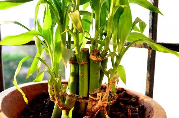How To Plant Bamboo - How To Plant Bamboo In Pot