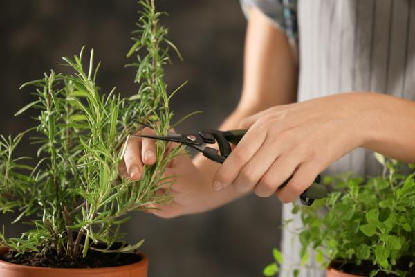 Pruning rosemary: when and how to do it - How to prune rosemary step by step - 2 types of pruning