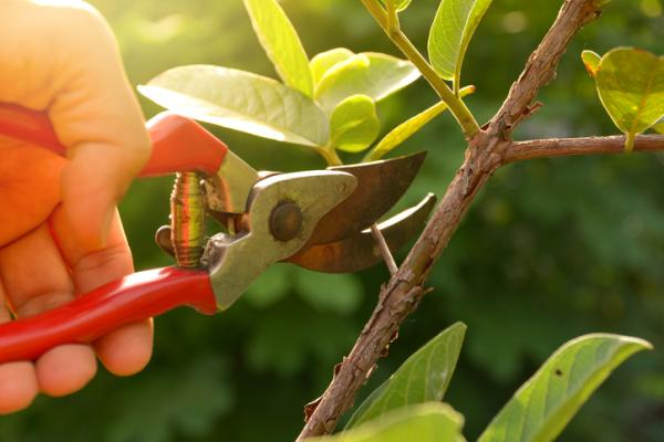 Prune jasmine: when and how to do it - How to prune a jasmine - steps and types