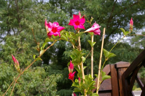 Dipladenia or mandevilla: care - How to make dipladenia or mandevilla bloom