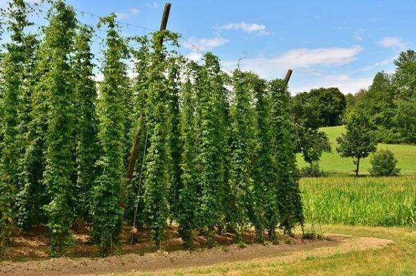 24 climbing plants - Hops, one of the most famous climbing plants
