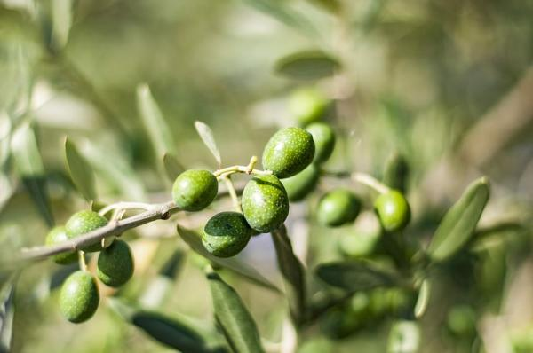 Potted olive tree: care and how to prune it - Climate and location for the potted olive tree