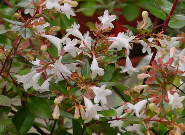 Abelia grandiflora: care - Substrate and fertilizer for Abelia grandiflora