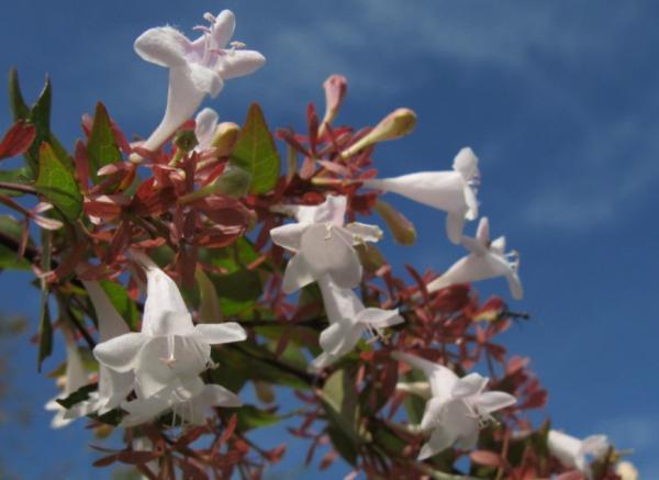 Abelia grandiflora: care - Location and climate for Abelia grandiflora