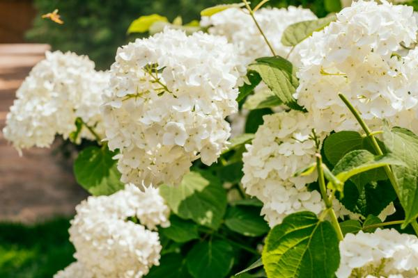 How to change the color of hydrangeas - How to change the color of hydrangeas to white