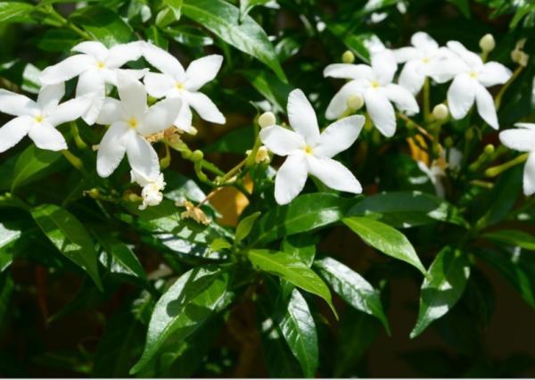 10 white garden flowers - Jasmine, a white flower garden vine