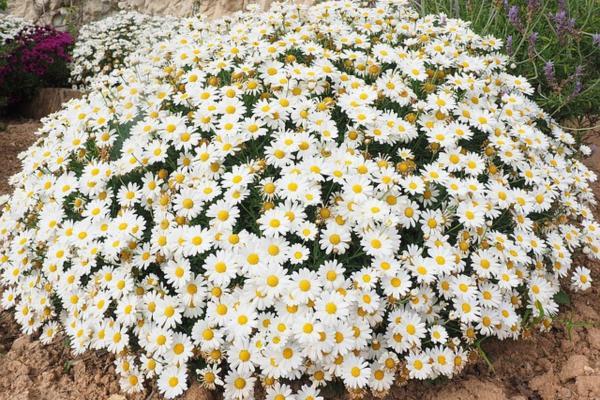 10 White Garden Flowers - Common White Daisies or Murals