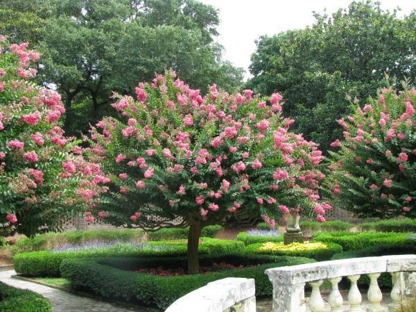 Jupiter tree care - Jupiter tree care or Lagerstroemia indica