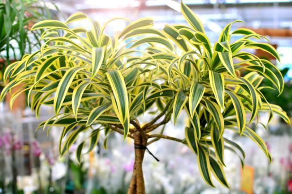 25 tall indoor plants - Drácena or Dracaena
