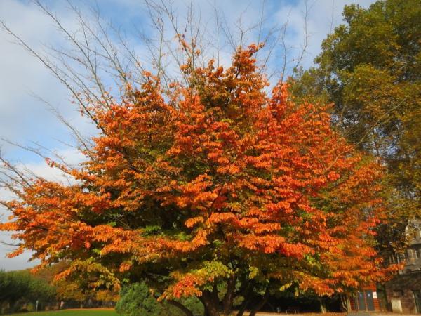 20 ornamental trees - Iron Tree
