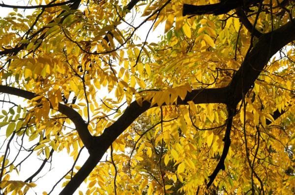 20 ornamental trees - Juglans, one of the Asian ornamental trees