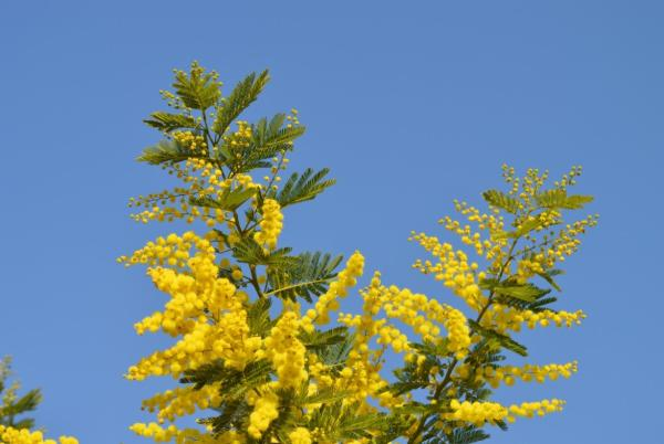 +20 plants with yellow flowers - Yellow Mimosa