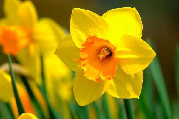 +20 plants with yellow flowers - Yellow daffodils