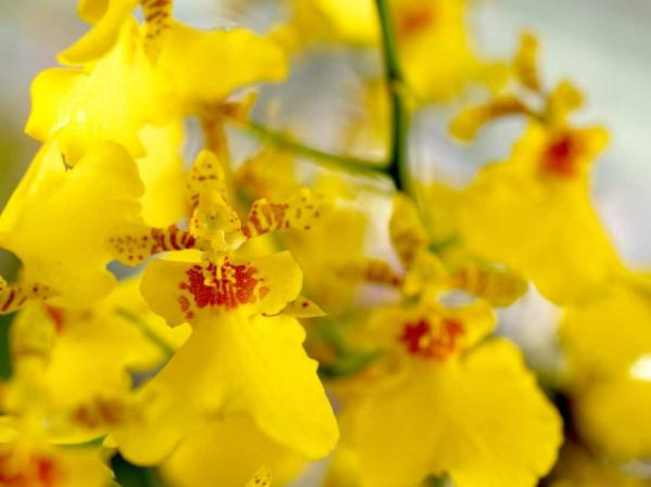+20 plants with yellow flowers - Yellow orchids