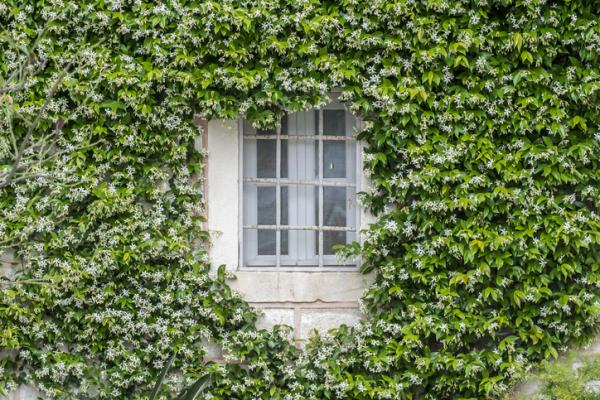 How to take care of your jasmine plant in your garden - Characteristics of the jasmine plant
