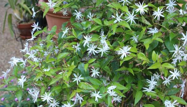 How to care for your jasmine plant in your garden - What you should not do to care for a jasmine