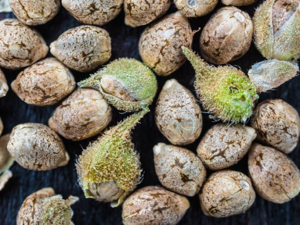 How long does a marijuana seed take to germinate - Indoor or outdoor cultivation: which is better?