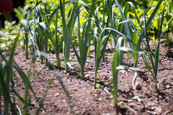 Indoor and outdoor anti-fly plants - Garlic