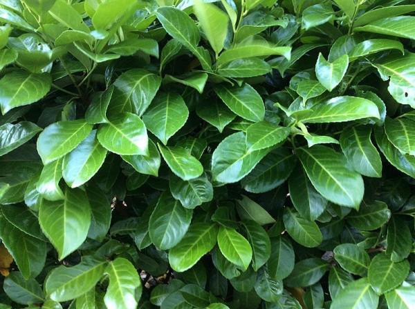 Indoor and outdoor anti-fly plants - Laurel
