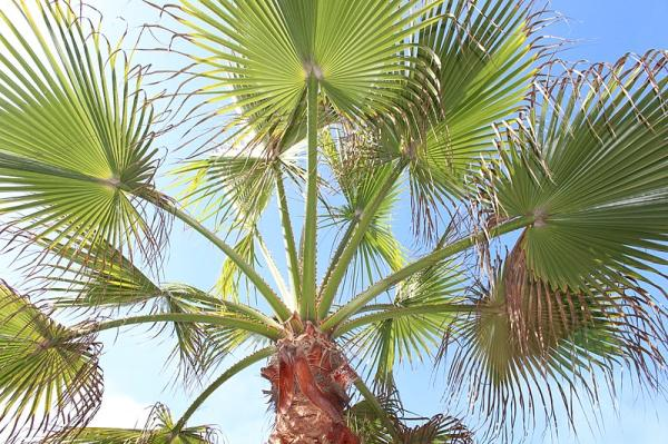 Heat Absorbing Plants - Chinese Palm
