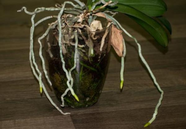 How to revive an orchid - How to revive a drowned orchid