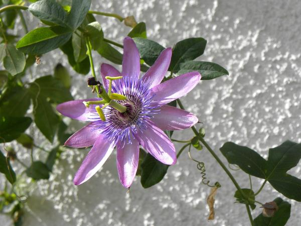 Names of the most exotic flowers in the world - Passionflower
