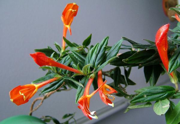 29 indoor hanging plants - Columnea, a curious indoor hanging plant