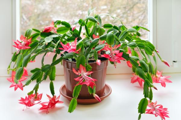 +25 indoor plants that need little light - Christmas or Easter Cactus