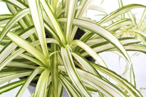 +25 indoor plants that need little light - Cinta or malamadre