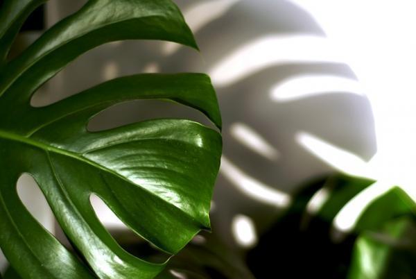 +25 indoor plants that need little light - Adam's Rib