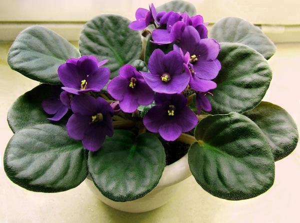 +25 indoor plants that need little light - African Violet
