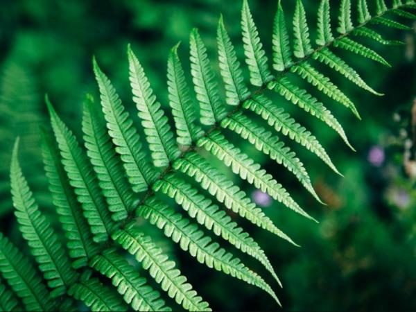 Growing and caring for ferns - Temperature for ferns
